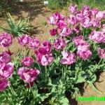 Значение тюльпанов