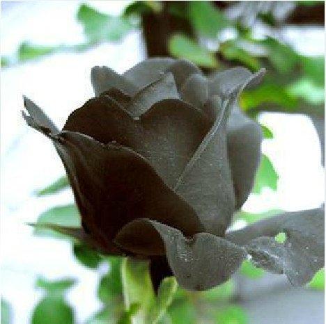Черная роза википедия цветок