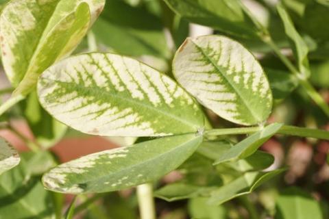 лечение растений от хлороза