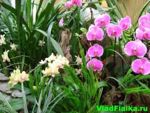 Орхидея Гонконга