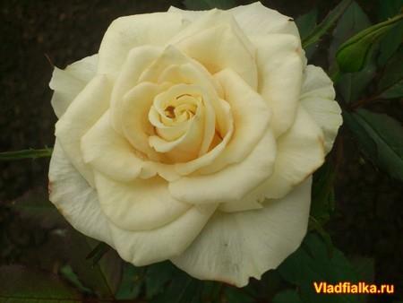 Любуюсь розой Я